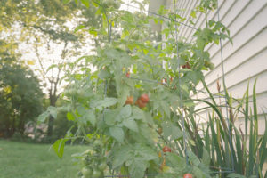 Tomato plants in Mankato